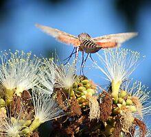 Hummingbird Moth by Laurel Talabere