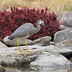White faced Heron by Malcolm  Taylor