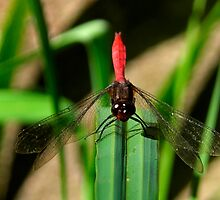 Ready For Takeoff - Australian Red Dragon Fly by Mark Richards