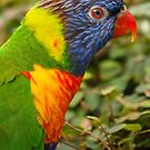 Rainbow Lorikeet by John Dickson