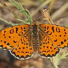Spotted Fritillary by Robert Abraham