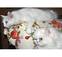 Pampered Van Cat and Persian Cat  Photographic Print