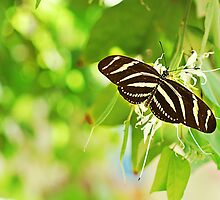 Zebra Longwing Butterfly - Heliconius charitonia by photecstasy
