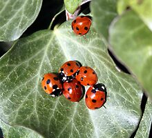 ladybirds by markp382