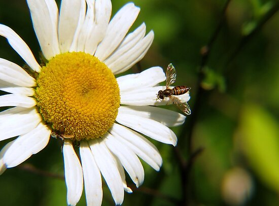 Oxeye Daisy Landing Strip by Ron Russell