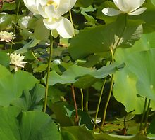 Old Lotus dying beside Blossoming Lotus by Anthea  Slade
