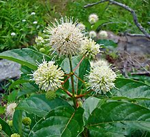 Common Buttonbush - Cephalanthus occidentalis by MotherNature