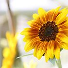 Sunflower  by WDaRos714