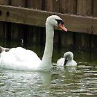 Swan & Cygnet by MyPixx
