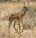 Gerenuk 2 by David Clarke