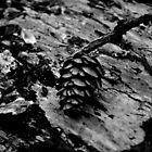 Pine Cone by luckycatphotos