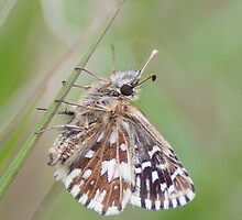 Grizzled Skipper by Gill Langridge