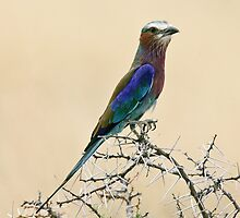 Lilac-breasted roller by David Clarke