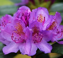 Rhododendron Flower by karina5