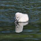 Cygnet by Lynda  McDonald