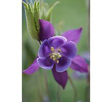 Purple Aquilegia Photographic Print