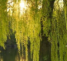 Willow by CliveSluter