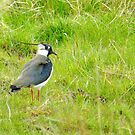 Lovely little Lapwing! by weecritter