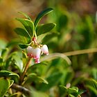 Bearberry - Wildflowers of Alberta by Roxanne Persson