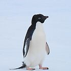 Young Adelie Penguin by cactus82
