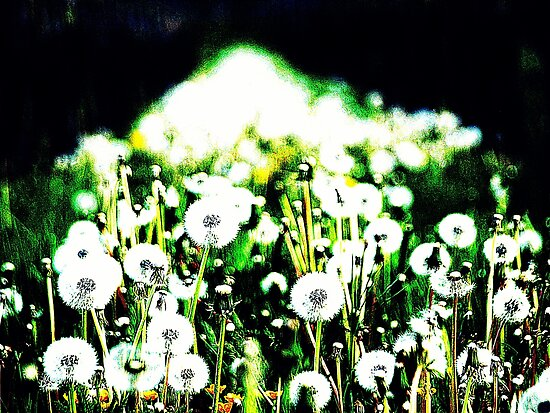 Dandelion clock by heinrich