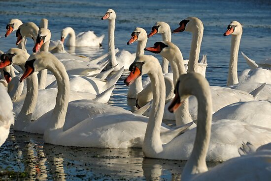 Group of Swans in pond by Sami Sarkis