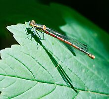 Large red Damselfly by Paul Spear