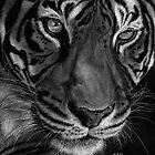 Sumatran Tiger by Sheryl Unwin
