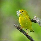 Yellow Warbler by Nancy Barrett