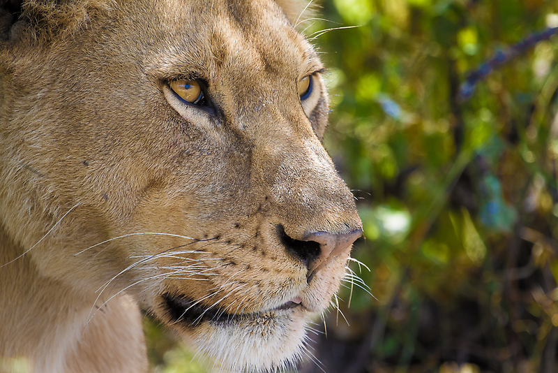 Portrait of a lioness by arodericks