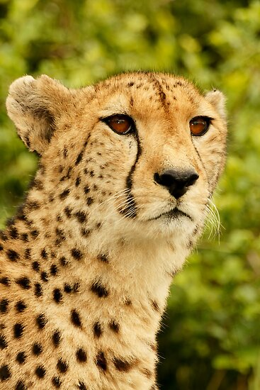 Cheetah by AntonAlberts
