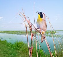 Little Singer in the Marsh by Bonnie T.  Barry