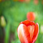 Tulip in Red by CandiMerritt
