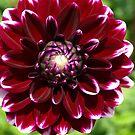 Dahlia - Burgundy with white tips by Bev Pascoe