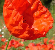 Red Field Poppy by KUJO-Photo
