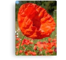 Red Field Poppy Canvas Print