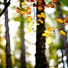 Autumn, Beech Leaves, Scottish Borders by Iain MacLean