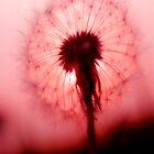 Dandelion  by Ian Jeffrey