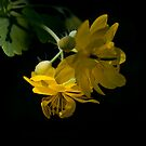 Greater Celandine - Chelidonium majus by Megan Noble