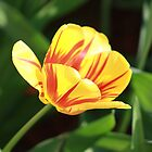 Spring time tulip by Emily Barnes