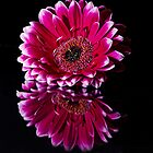 Reflected Gerbera by FranWalding