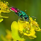Ruby tailed wasp [Chrysis ignita group] by Vasil Popov