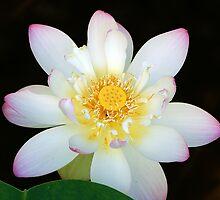 White Lotus by Bill Morgenstern