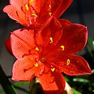 Vallota or Scarborough Lily by Bev Pascoe