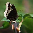 My Butterfly by saseoche
