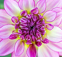 Dahlia being mesmerizing 2 by alan shapiro