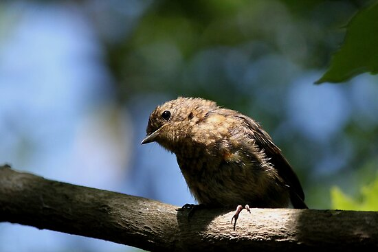 Juvenile Robin (2) by larry flewers