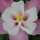 Pink Columbine by Sandra Fortier