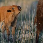 Curious Calf by Mully410
