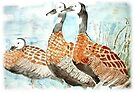 White Faced Ducks by Maree  Clarkson